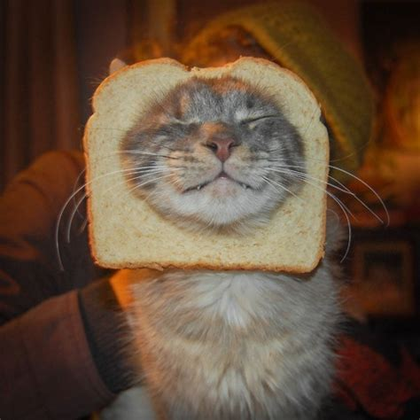 Cat Breading Meme - 10 best images about breading on pinterest to be cats