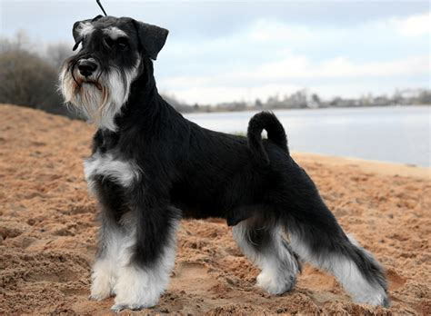rottweiler schnauzer nombres para perros shih tzu webanimales