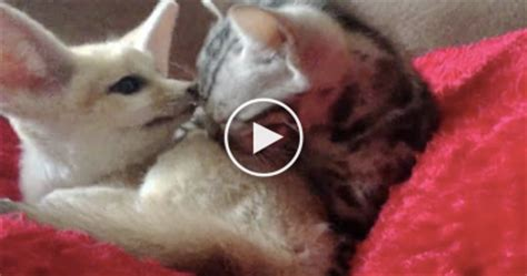 how cute pet foxes steal your heart this tiny kitten is grooming herself and it s soo it ll your the