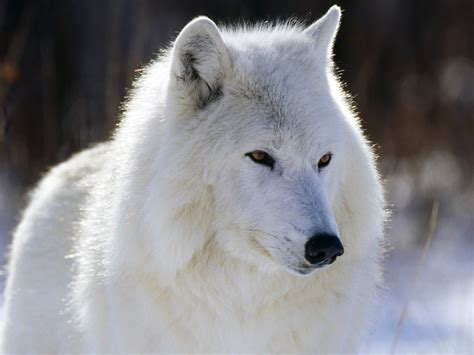 arctic wolf puppies wolves as pets animals