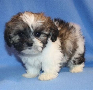 teddybear puppies hoobly adorable fuzzy wuzzy pups shichon puppies zuchon puppies teddy