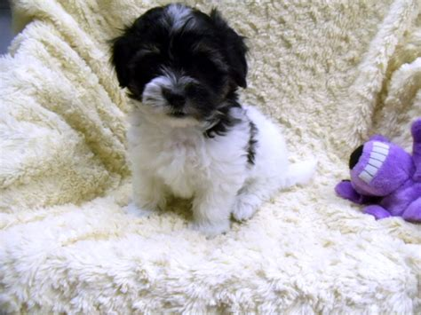 free puppies winston salem nc view ad havanese puppy for sale carolina winston salem usa