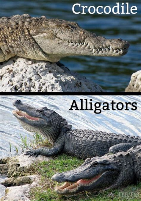 the difference between alligators and crocodiles what s the difference between crocodiles alligators myria