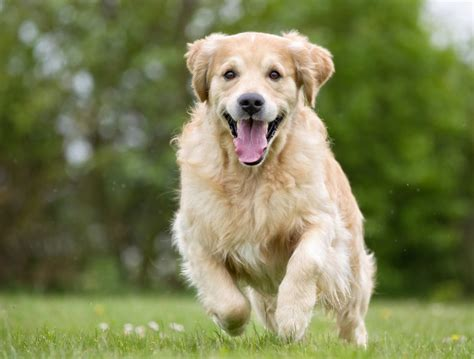 how does the average golden retriever live 16 reasons why golden retrievers are such awesome pets