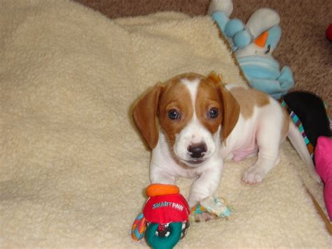 piebald dachshund puppies piebald dachshund puppy doxies are the best