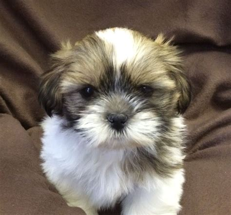 shih tzu for sale shih tzu puppies for sale in west pets4homes
