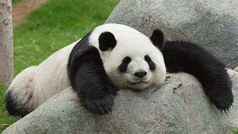 koleksi gambar panda lucu  imut