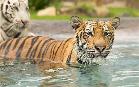 tiger tiger essential modern tiger island dreamworld