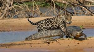 Alligator Jaguar Mick Jaguar Attacks 120 Pound Crocodile Cousin In Brazil
