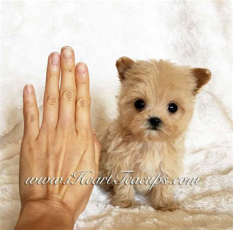 california puppies for sale teacup poodles for sale in california teacup yorkie