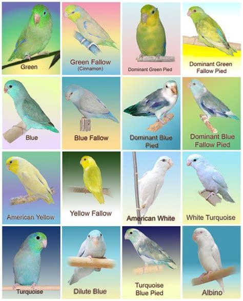 pacific color pacific parrotlet color mutations parrotletbirds s