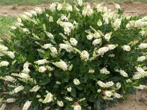 Best Fragrant Plants - klehm s song sparrow farm and nursery woody plants