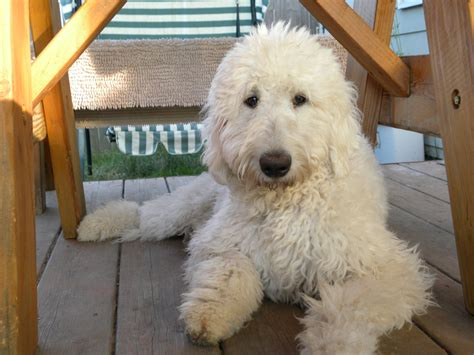 goldendoodle puppy washington dreamydoodles goldendoodles and labradoodle puppies in