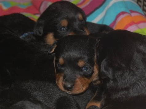 rottweiler puppies for sale in los angeles rottweiler puppies for sale los angeles usa free classifieds muamat