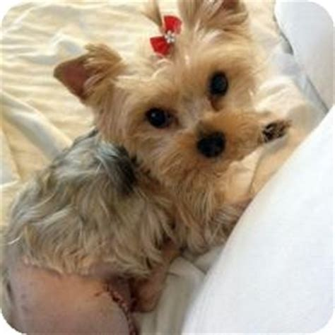 yorkie spay recovery coco chanel adopted west palm fl yorkie terrier