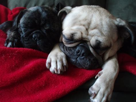 bulldog pug bulldog pug mix puppies puggies