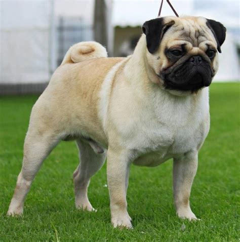 tipos de perros pugs best 25 raza pug ideas on