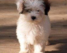 shih tzu maltese temperament mal shi maltese x shih tzu mix temperament puppies