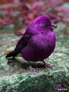 purple bird on pinterest colorful birds beautiful birds