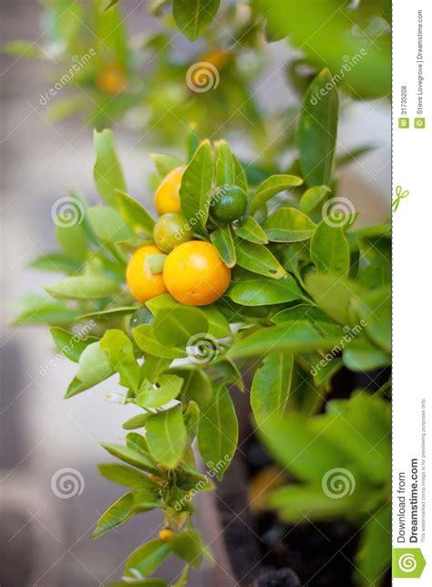 tree with small orange fruit orange tree royalty free stock photos image 31735208