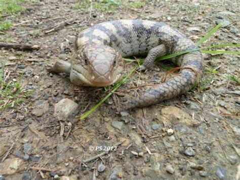 what s lurking in your backyard 18 common blue tongue
