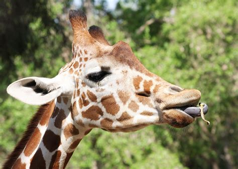 the giraffe that ate giraffe eating www pixshark com images galleries with a bite