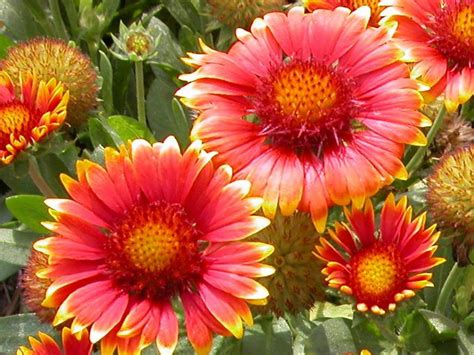 fall blooming perennials perennials that love sun diy