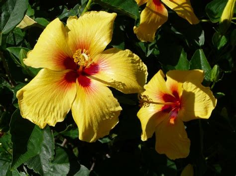which state has a hibiscus yellow hibiscus state flower of hawaii http wp me p1gkzp