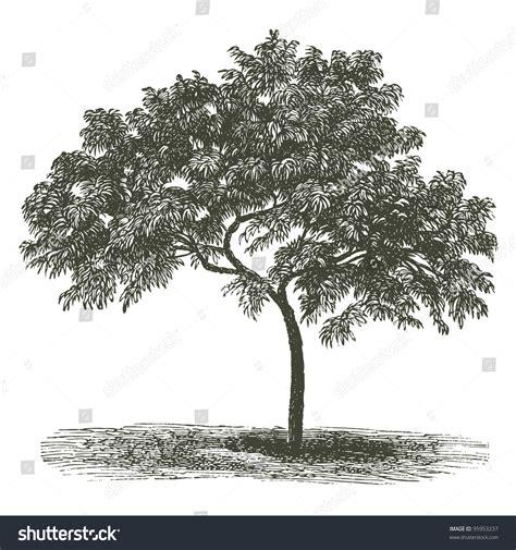 vintage tree tree vintage engraved illustration dictionnaire stock vector 95953237