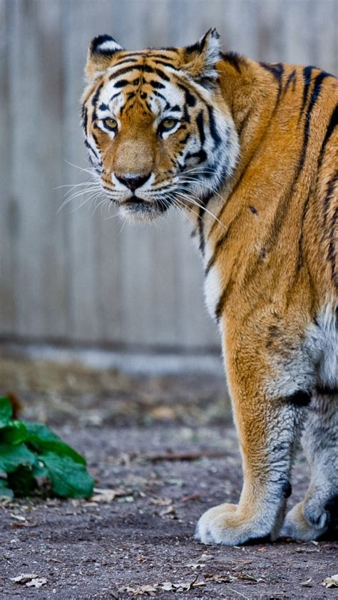 wallpaper iphone 6 tiger tiger mobile wallpapers 16 wallpapers adorable wallpapers