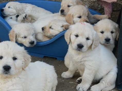 beautiful golden retriever puppies for sale beautiful golden retriever puppies for sale crediton pets4homes