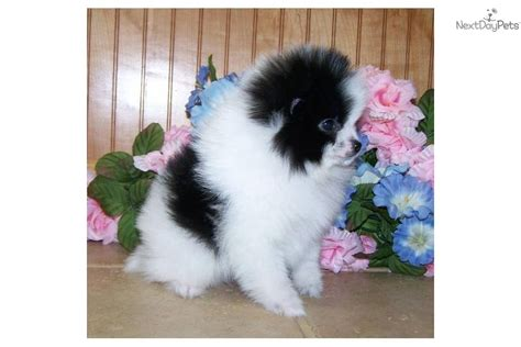 parti pomeranian puppies pomeranian puppy for sale near southwest va virginia 2ab4836a a961
