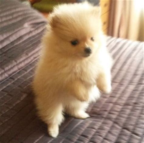 pomeranian puppies for sale in gauteng pomeranian pom puppies for sale moot dogs and puppies 37607459 junk mail