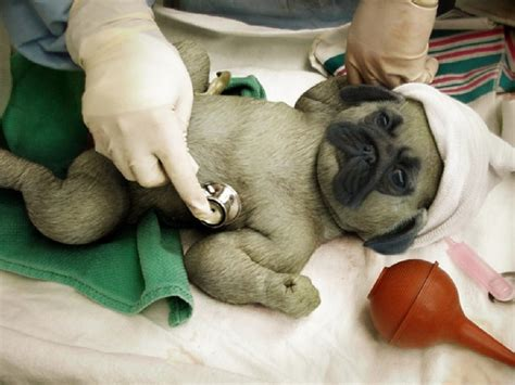 newborn baby pugs pug new born baby