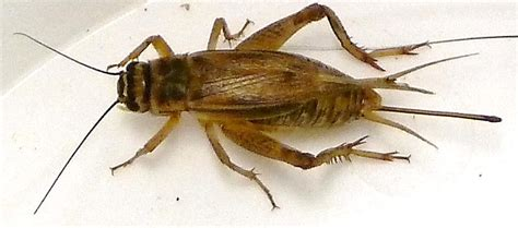 house cricket species selection advanced insect breeding systems