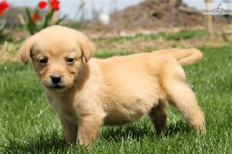 yellow lab puppies near me labrador retriever puppy for sale near lancaster pennsylvania 35dabb84 f4a1