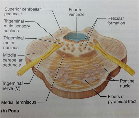 brain stem cross section chapter 12 the central nervous system at bellevue
