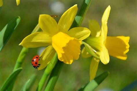 rima con fiori gratis foto bloemen paaslelies narcissen gratis