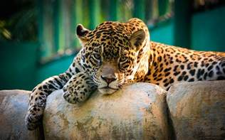 Wallpaper Jaguar Jaguar Mexico Wallpapers Hd Wallpapers
