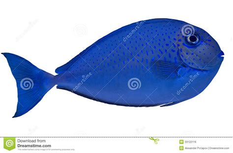 Mini Fish Blue small blue spotted fish isolated on white royalty free stock image image 33122116