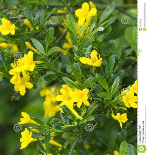 Buisson Fleur Jaune by Buisson Vert Avec Les Fleurs Jaunes Photo Stock Image