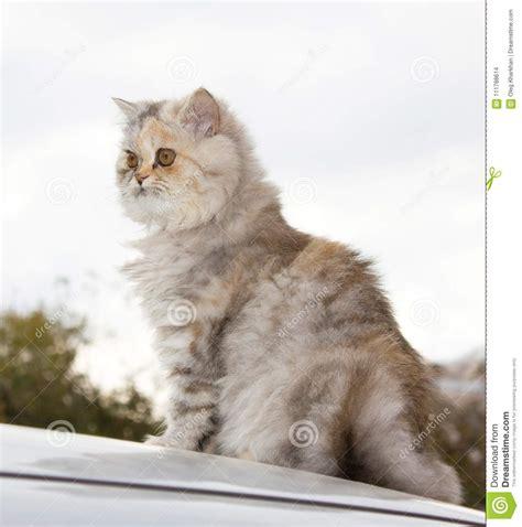 foto dei gatti persiani gatto persiano una razza dei gatti persiani fotografia