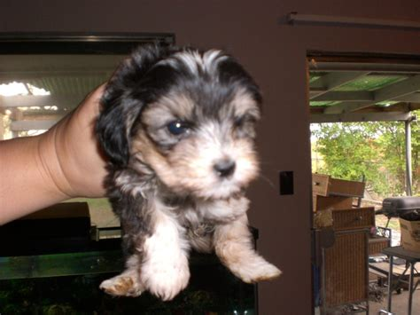 maltipoo puppies for sale illinois maltipoo illinois breeder breeds picture