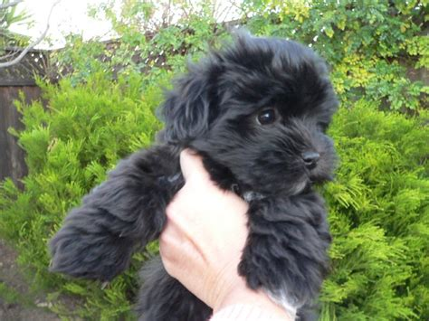 black havanese puppies black havanese puppies nationtrendz