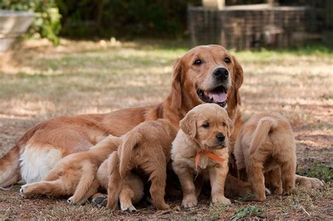 birth for dogs best bedding for a giving birth cuteness