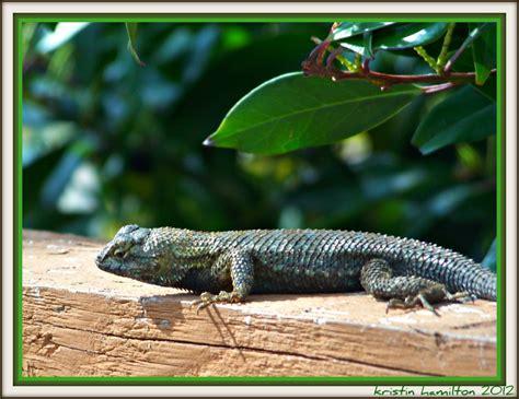 lizard in my backyard leaping lizards in my backyard