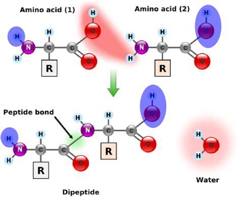 protein molecule diagram rosalind calculating protein mass
