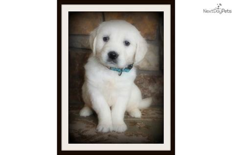 golden retriever puppies for sale montana molly white golden retriever labrador retriever for sale in missoula mt