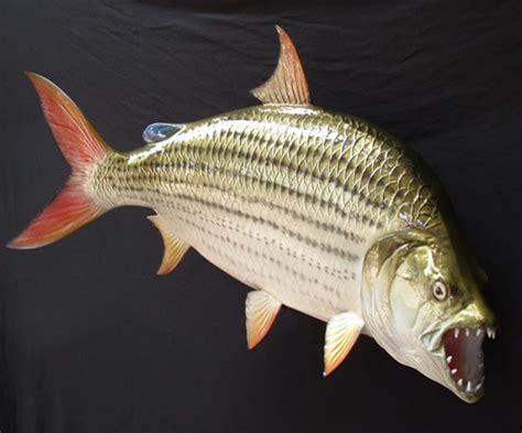 the goliath tiger fish all aquarium info where to buy
