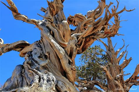 Methuselah Tree ? California   Tripomatic